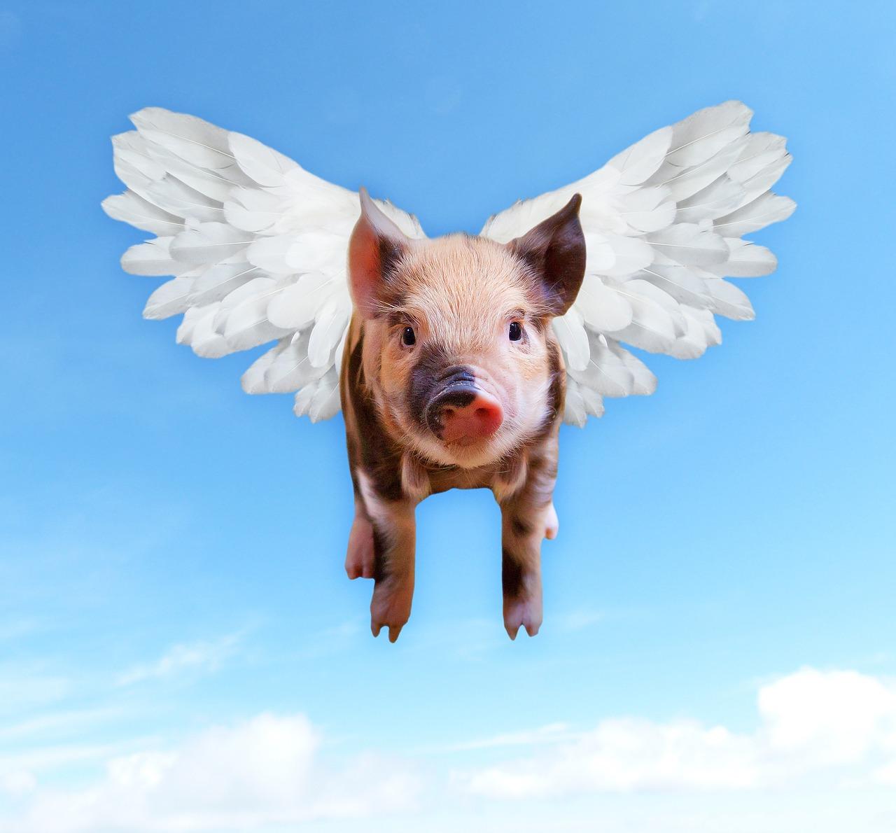 omogeneizzati di carne - foto maiale che vola